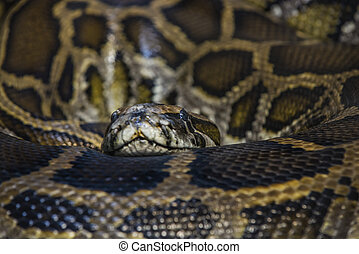 African Rock Python looking towards the camera - Python...