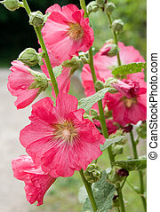 Althaea rosea n a green background