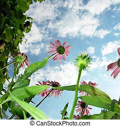 Echinacea purpurea on a background of the sky...