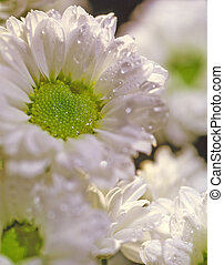 Aster, - Aster n a white background