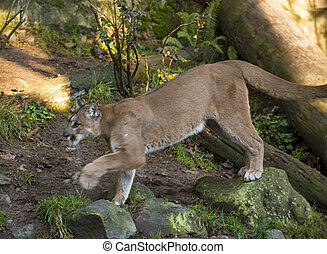 Mountain Lion - Beautiful Adult Mountain Lion close-up...