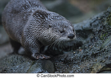 River Otter - North American river otter (Lontra...