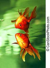 Goldfish aquarium - Goldfish aquarium looks at his...