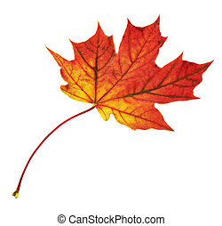 Maple-leaf isolated over white - Autumn red maple-leaf...