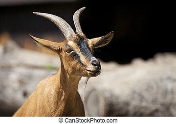portrait, chèvre
