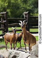 clairière, chèvres