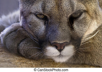 Cougar - Ferocity at rest - a cougar taking a break at the...