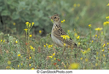 Skylark, Alauda arvensis, single bird on ground, Midlands,...