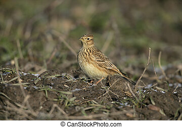 Skylark, Alauda arvensis, single bird on ground, Midlands,...