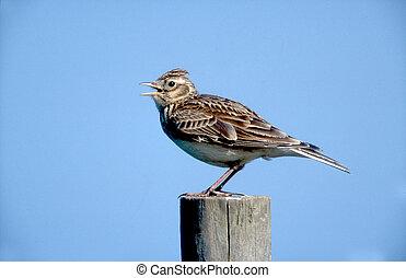 Skylark, Alauda arvensis, single bird on post, Midlands, UK