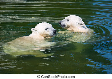 Polar bear - Nice photo of cute white polar bear cubs