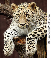 leopard - a beautiful leopard resting on a tree