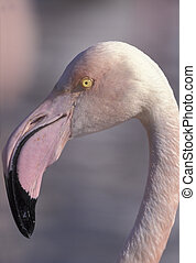 Greater flamingo, Phoenicopterus ruber, head shot,  France