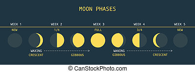 Moon Phases - Vector Illustration of Informative Chart of...