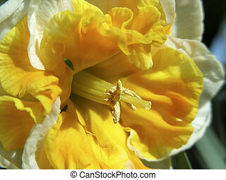 Frilly Daffs - Just the thing for spring - frilly double...