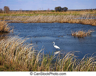 Great Egret In Marsh - A Great Egret wades in the water of a...
