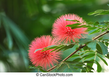 Bloomimg Mimosa tree (Albizia julibrissin), aka silk tree,...