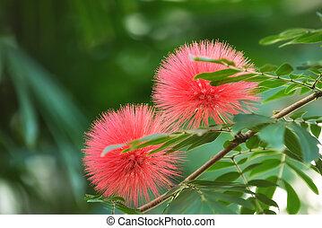 Bloomimg, mimosa, albero