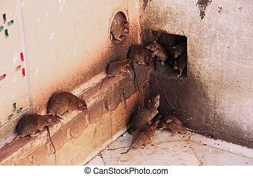 Holy rats running around Karni Mata Temple, Deshnok, India -...