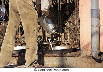 Man pouring milk for rats, Karni Mata Temple, Deshnok, India...