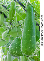 Wax gourd hanging on vine in  green vegetable garden