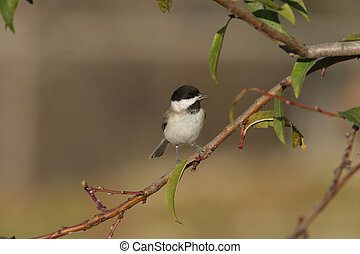 Sombre tit, Parus lugubris, single bird on branch, Bulgaria...