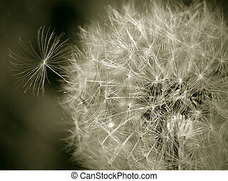 Seedy Dandelion - Closeup of a dandelion gone to seed.