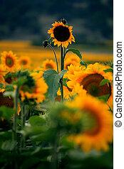 vertical sunflower