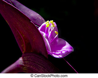 Wandering Jew - Closeup of the tiny mauve flowers of a...