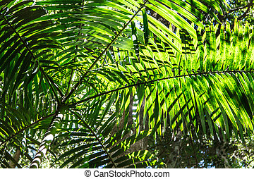 Palm Tree Canopy - Long green leafy canopy of a palm tree in...
