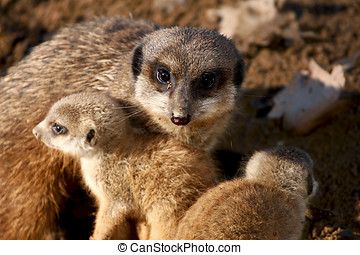 meekat - the meerkat family sunning pleasure while remaining...