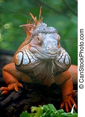 iguana lizard - face to face interesting iguana orange and...