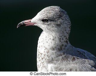 Young Gull - Closeup shot of a juvenile seagull, looking...