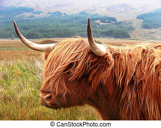 Highland Cattle - Just standing on the road staring at you -...