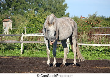 Funny gray horse making faces to the camera