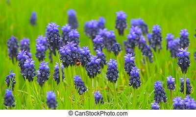 Wild blue flowers - Bee on wild blue flowers