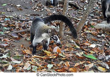 White-nosed coati - Cute tropical animal: white-nosed coati,...