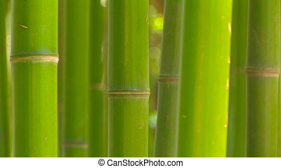 Bamboo grove, medium shot