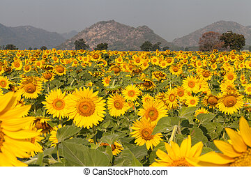 flower yellow - tantawan sun flower yellow coler in the...