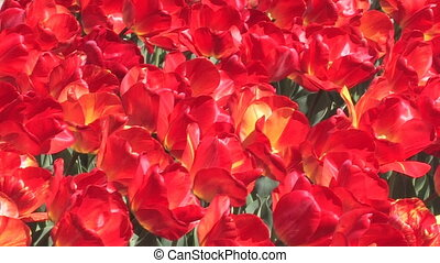 Avenue of  red tulips.
