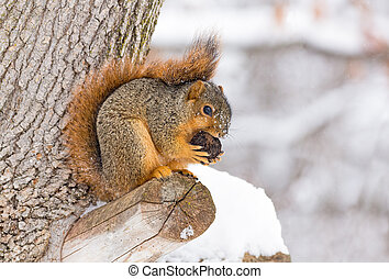 Squirrel Feasts in the Snow - A fox squirrel works at...