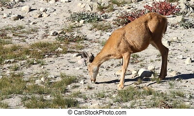 Mountain Deer Feeding - Mountain deer feeds on grass in the...