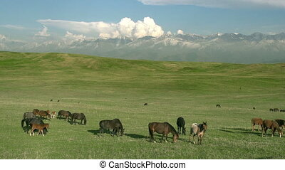Pasture in the foothills - Small herd Grazing on a Beautiful...