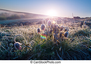 Pasque flower at dawn frost, spring landscape