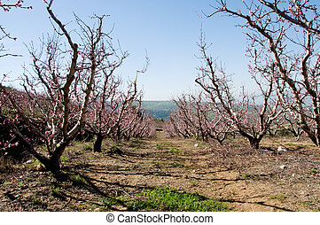 peach orchard in spring - peach orchard in bloom in Ramat...