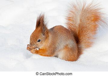 Red squirrel on the snow  taken in Kyiv, Ukraine, in winter