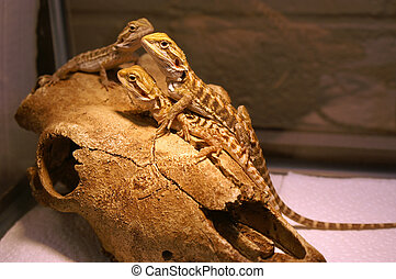Several Bearded Dragons on Rock - Several young bearded...