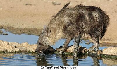 Brown hyena drinking water - A brown hyena (Hyaena brunnea)...