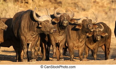 African buffaloes - Herd of African or Cape buffaloes...