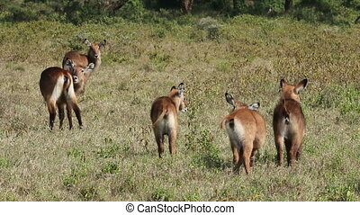 Defassa Waterbuck grooming - Young Defassa waterbuck Kobus...